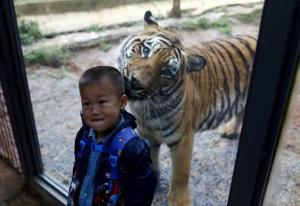 Un bambino e una tigre